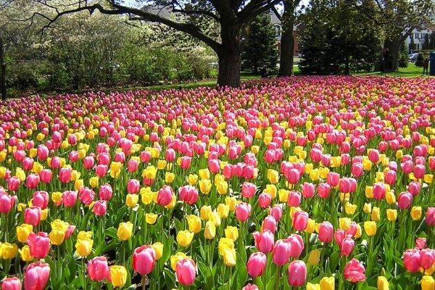 НаЕлагином острове квесне посадили 140 тыс. тюльпанов