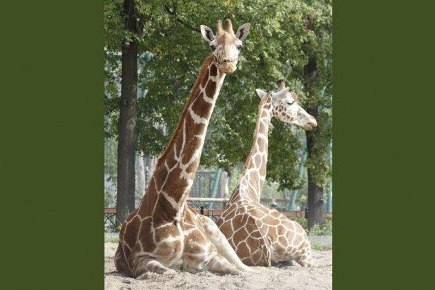 ВЛенинградском зоопарке отметят 35-летний юбилей жирафа Луги