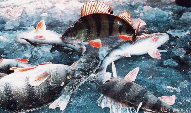 Свирица рыбалка